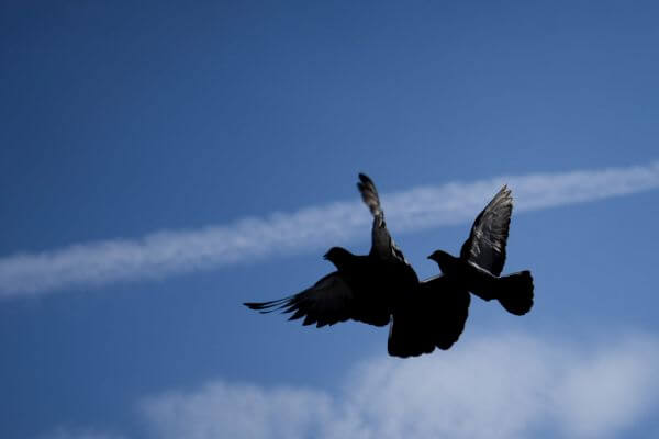 Pigeons in flight photo
