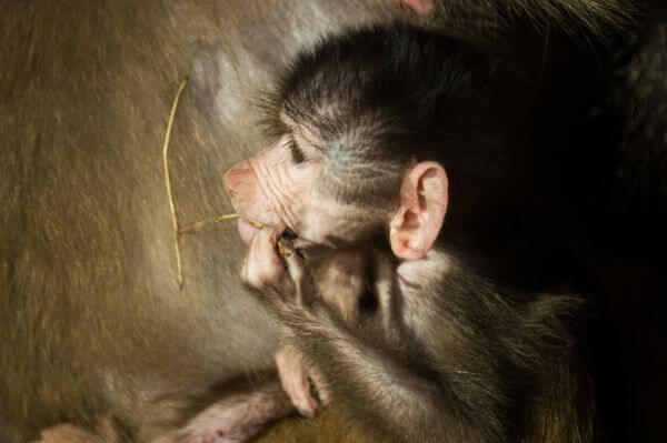 Baby baboon photo