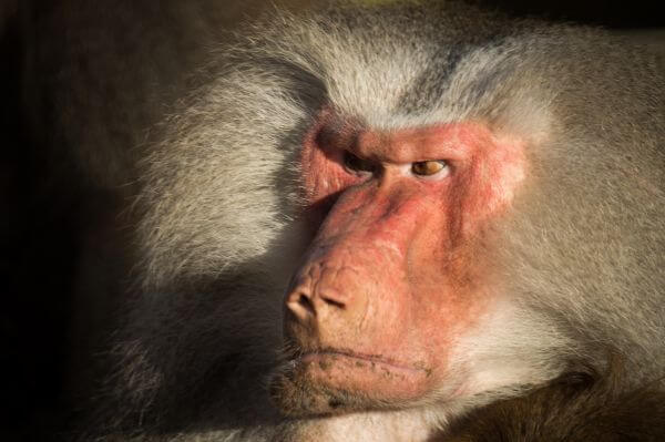 Angry baboon photo