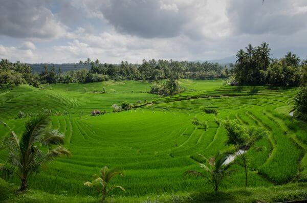 Paddy field in Bali photo