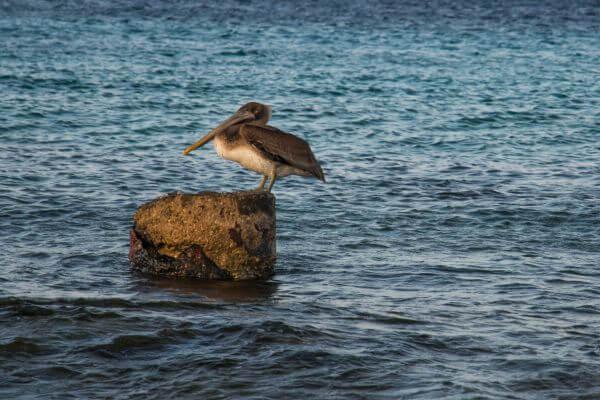 Pelican on a rock photo