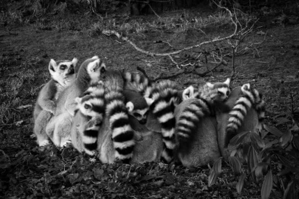 ring tailed lemurs photo