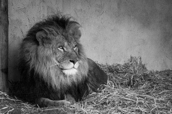 King Leo photo