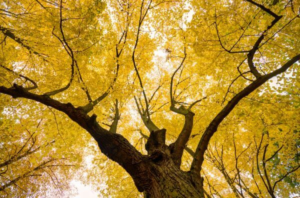 Yellow tree crown photo