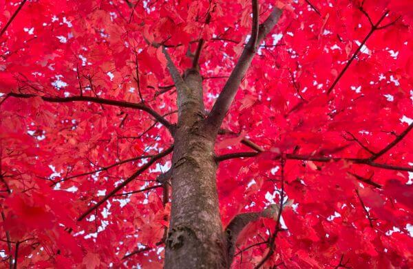 Red tree crown photo