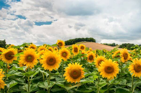 Field of sunflowers photo