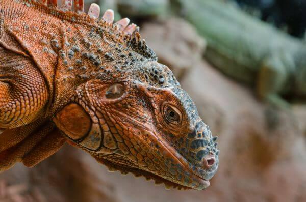 Red Iguana photo