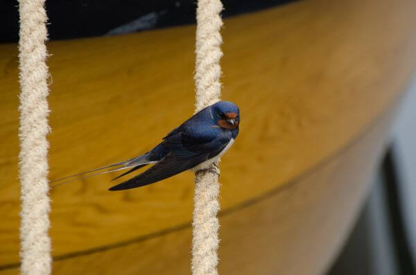 Swallow on a rope photo