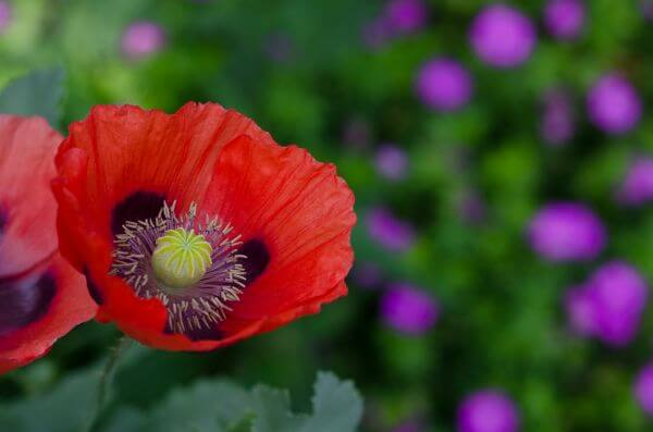 Big poppy photo