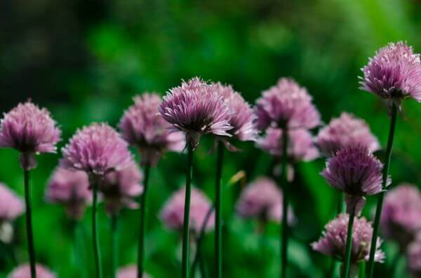 Chives photo