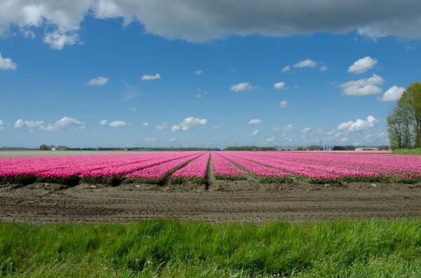 Tulip field photo