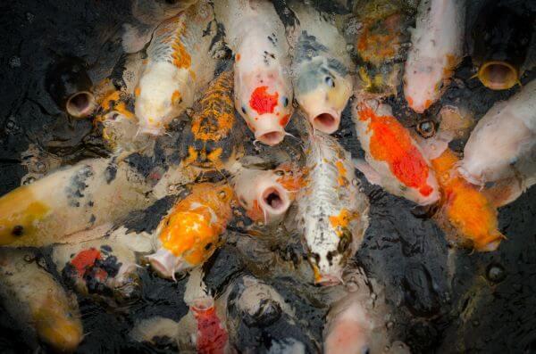 Hungry koi photo
