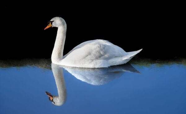 Swan reflection photo