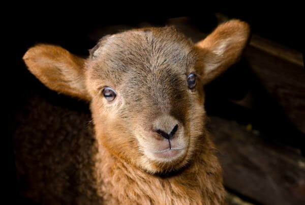 Little lamb photo