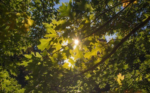 Oak leafs photo