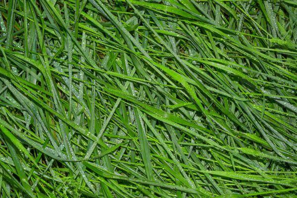 Wet grass photo