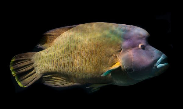 Napoleonfish photo
