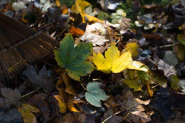 Maple leaves photo