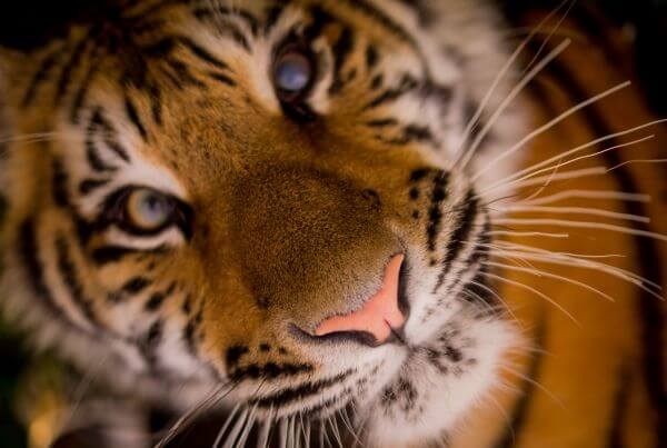 Tiger close up photo