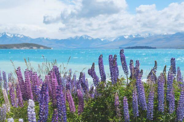 Stunning Lupin flowers at Lake Pukaki New Zealand photo