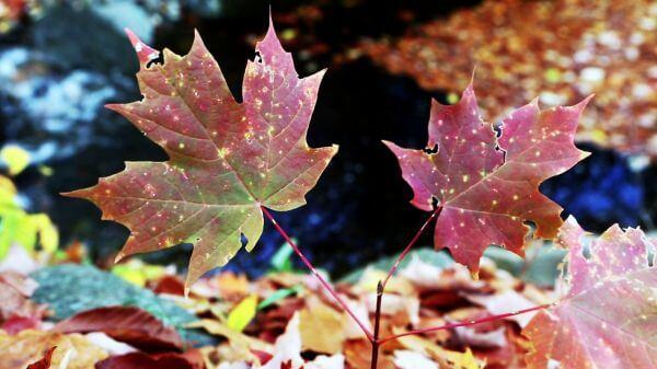 Maple Leaf Waltz