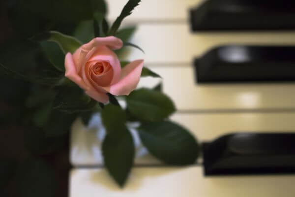 Piano Rose photo