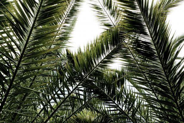 Palms Leaves photo