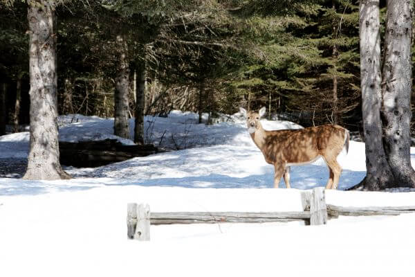Deer in Winter Forest photo