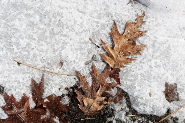 Icy Leaves photo