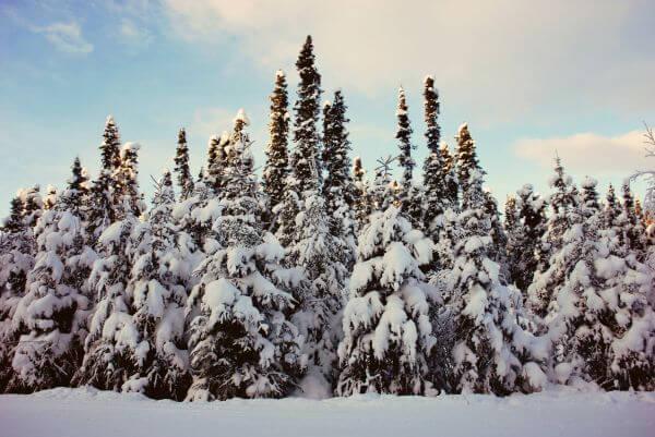 Frozen Firs photo