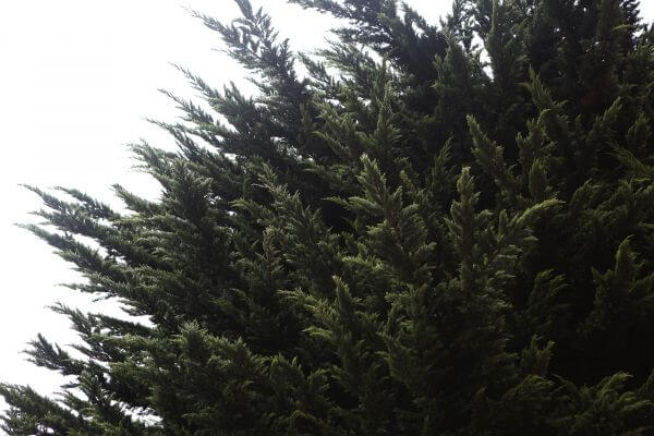 Fir Branches photo