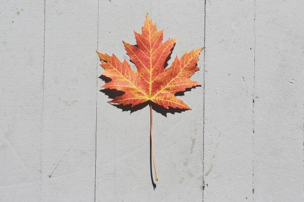 Maple Leaf photo