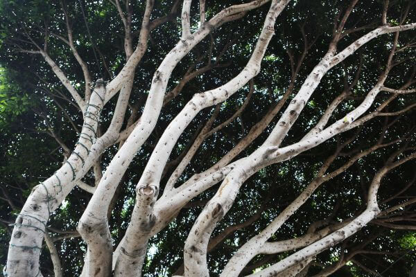Entwined Trees photo