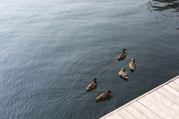 Ducks' Meeting photo