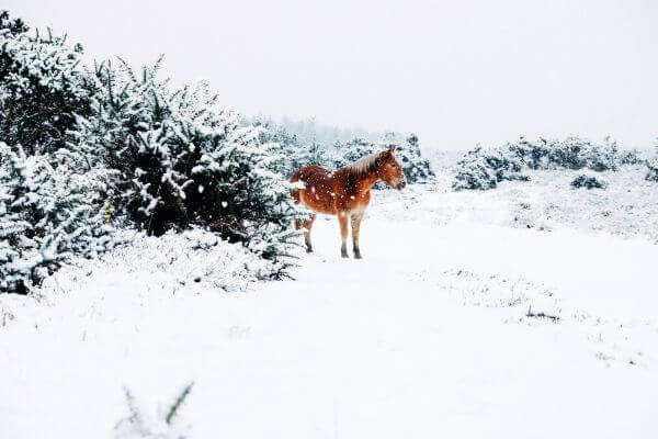 Small Horse In The Snow photo