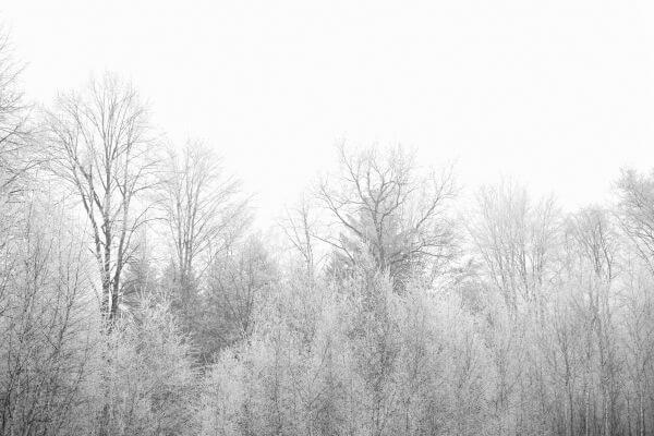 Frozen Trees photo