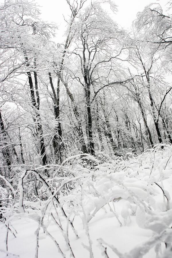 Frozen forest photo