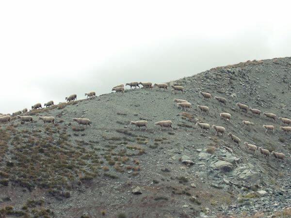Sheep me photo