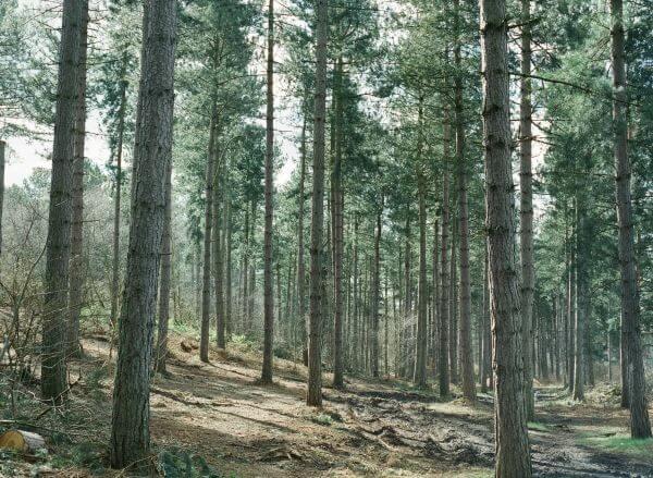 pines photo