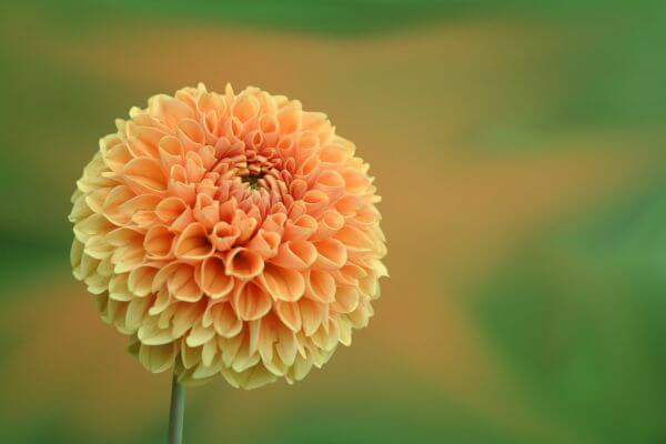 Dahlia Blooming Outdoors photo