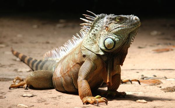 A Iguana photo