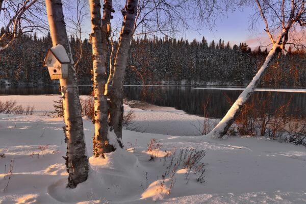 Birch photo