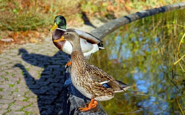Mallard Ducks on Water photo