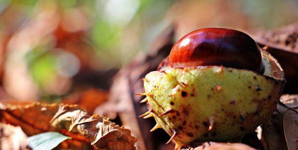 Chestnut photo