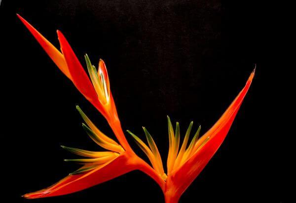 Birds of paradise flower photo