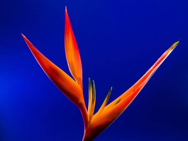 Birds of paradise photo
