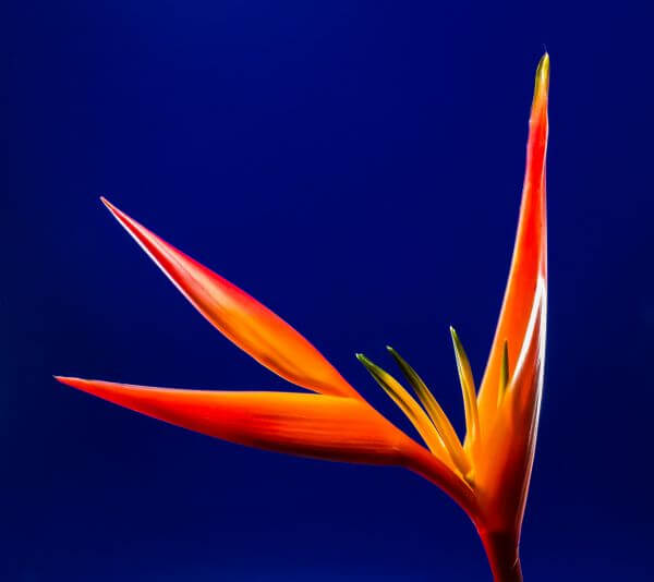 Birds of paradise photo