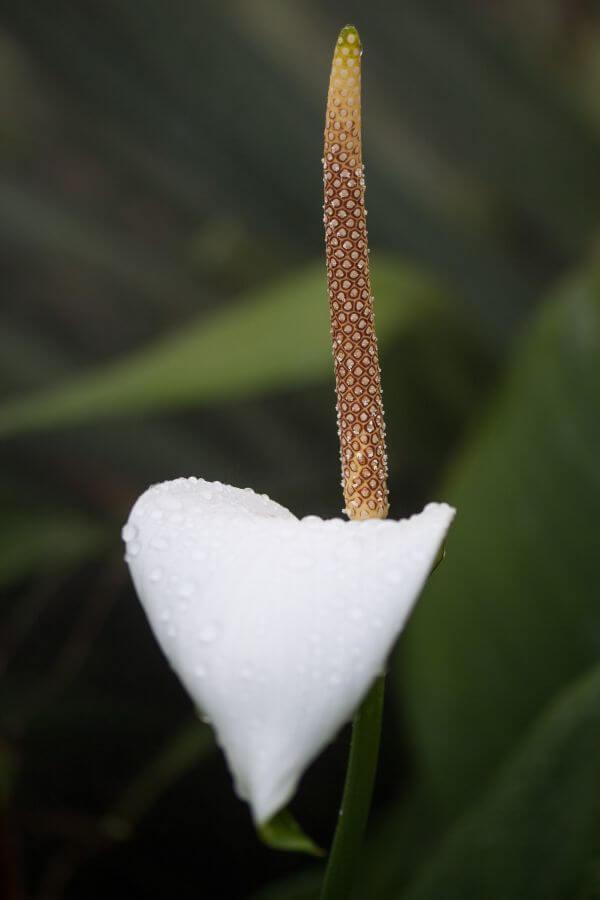 Araceae photo