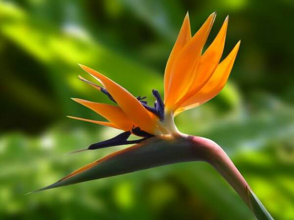 Bird of paradise flower photo