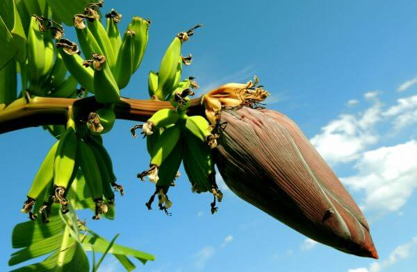 Banana flower photo